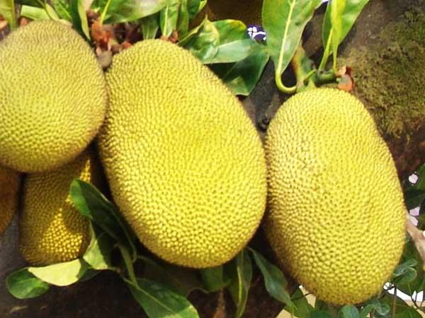 东海岛菠萝蜜,广东省湛江市赤坎区特产水果.
